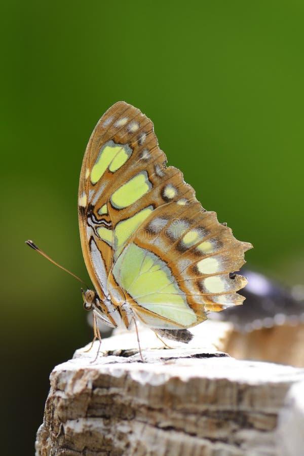 Papillon tropical image libre de droits