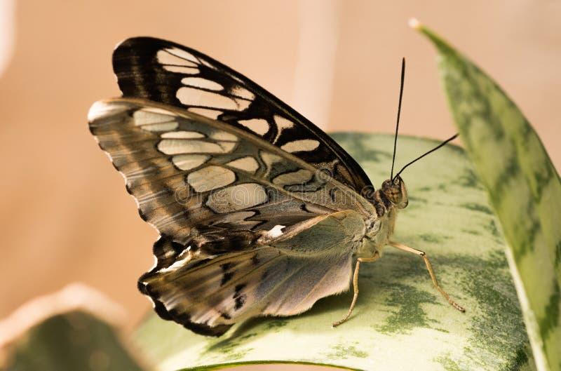 Papillon tropical Guindineau gris photo libre de droits