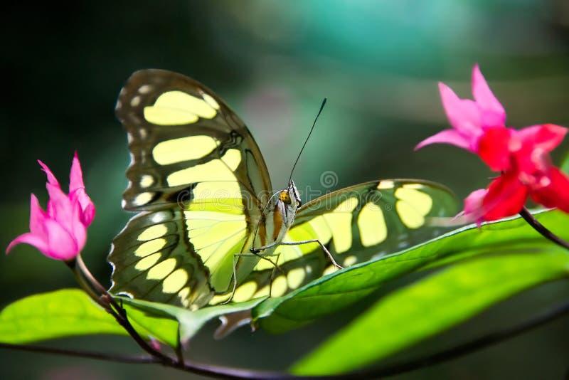 Papillon tropical lumineux se reposant sur la feuille de la fleur vibrante dans la forêt tropicale du Brésil Macro photo stock