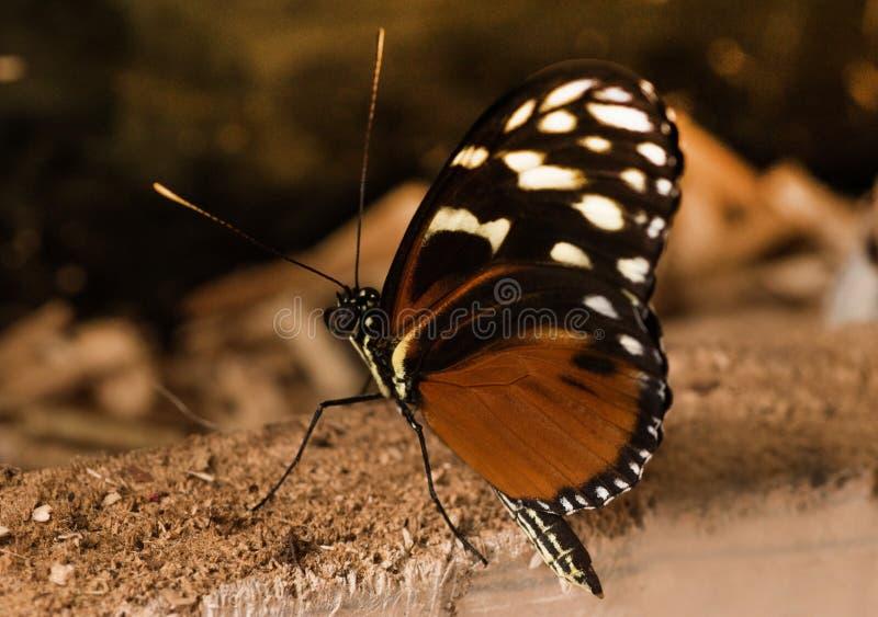 Papillon tropical Papillon noir exotique avec la tache brune sur les ailes images libres de droits