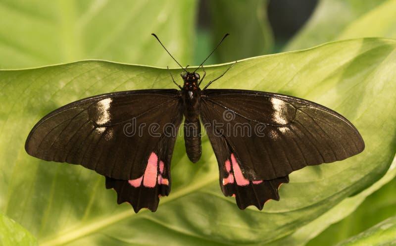Papillon tropical Papillon noir exotique avec la tache rose images libres de droits