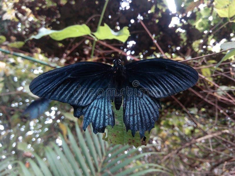 Papillon tropical noir se reposant sur une usine images stock