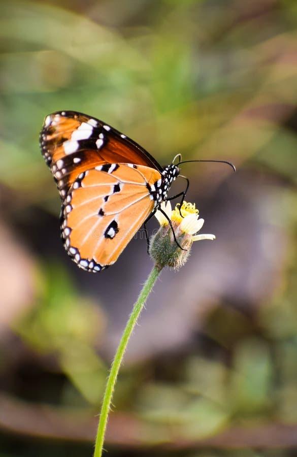 Papillon unique sur une fleur image stock