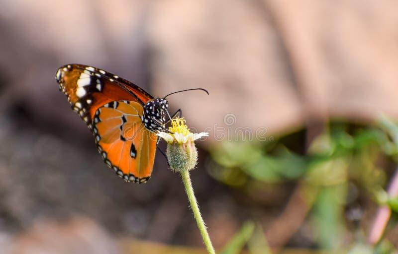 Papillon unique sur une fleur photo stock