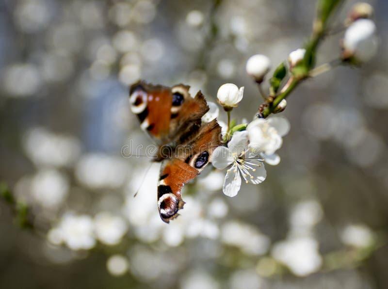 Papillon - urticae de Nymphalis image libre de droits