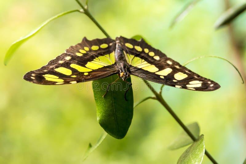 Papillon vert image libre de droits