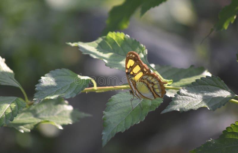 Papillon vert de malachite se reposant sur une feuille photos libres de droits