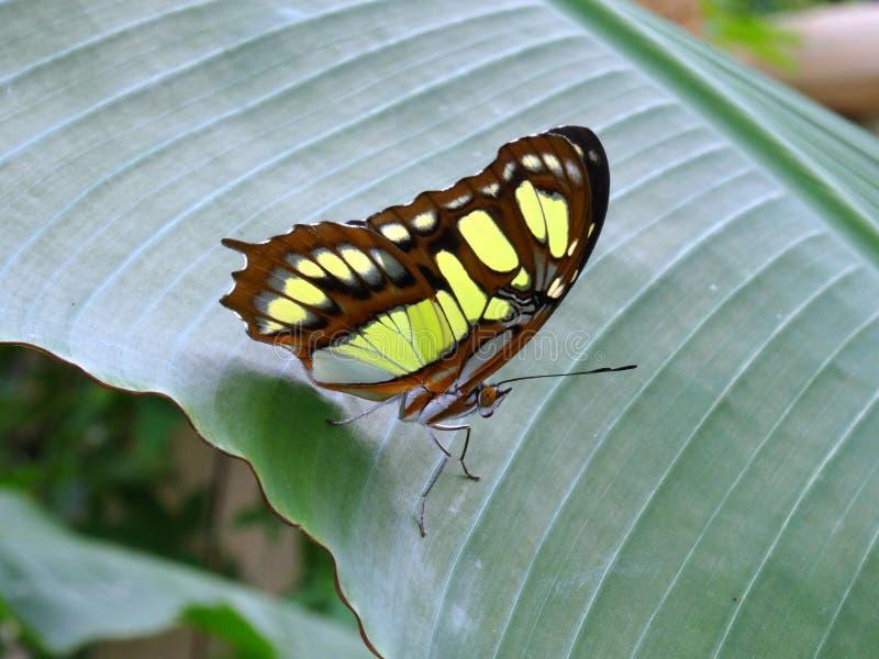 Papillon vert de malachite (stelenes de siproeta) images stock