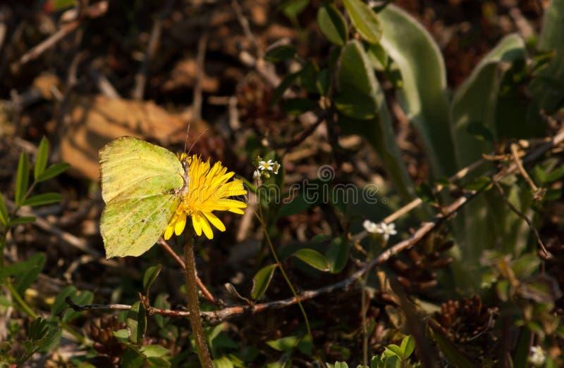 Papillon vert/jaune sur une fleur jaune photographie stock