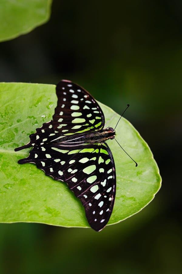 Papillon vert sur les feuilles vertes Le beau papillon a coupé la queue le geai, agamemnon de Graphium, se reposant sur des feuil images stock