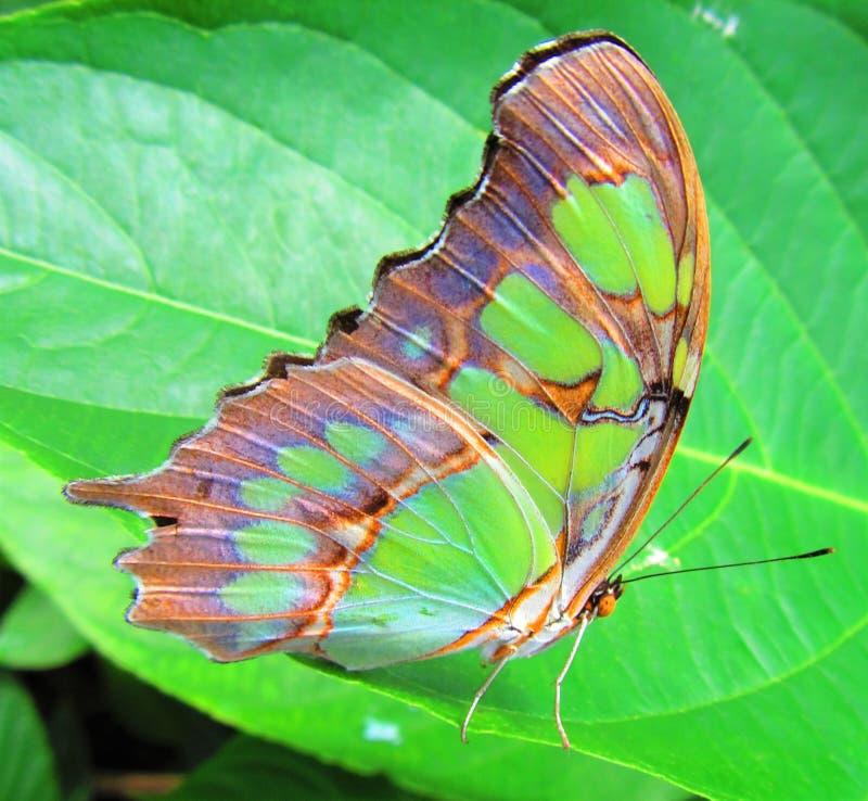 Papillon vert sur une feuille image libre de droits