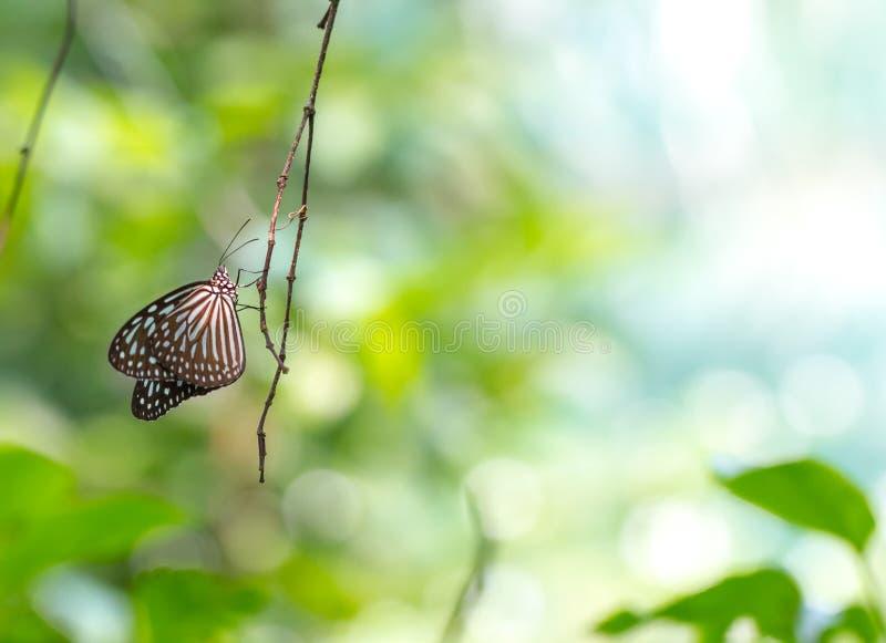 Papillon vitreux bleu de tigre se reposant sur une branche d'arbre images libres de droits