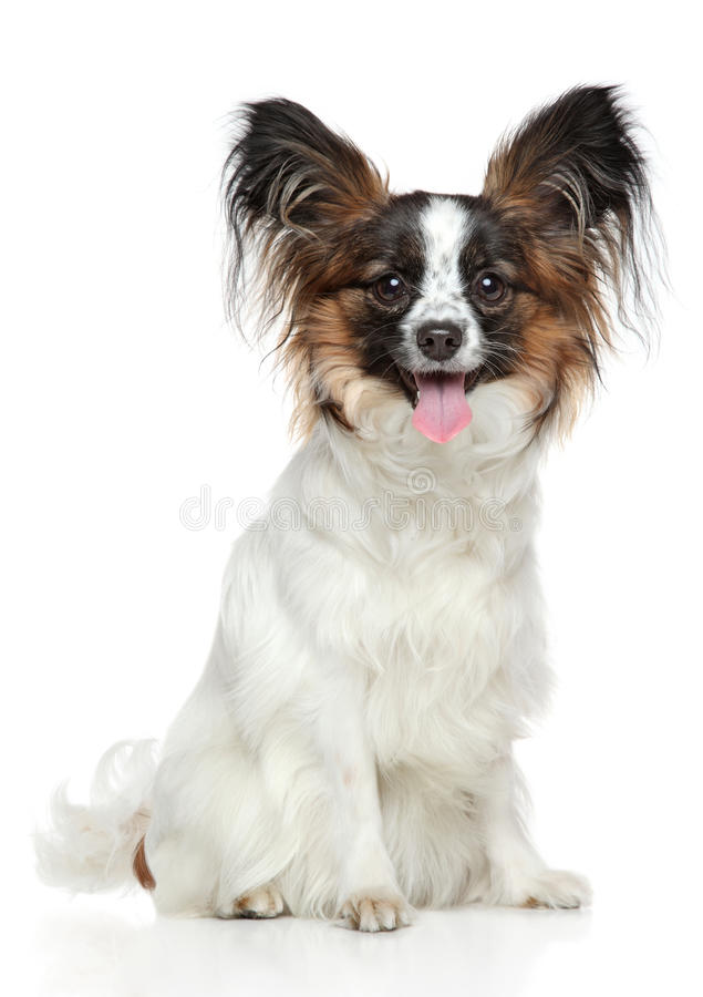 Papillonhond (Continentaal Toy Spaniel) stock afbeelding
