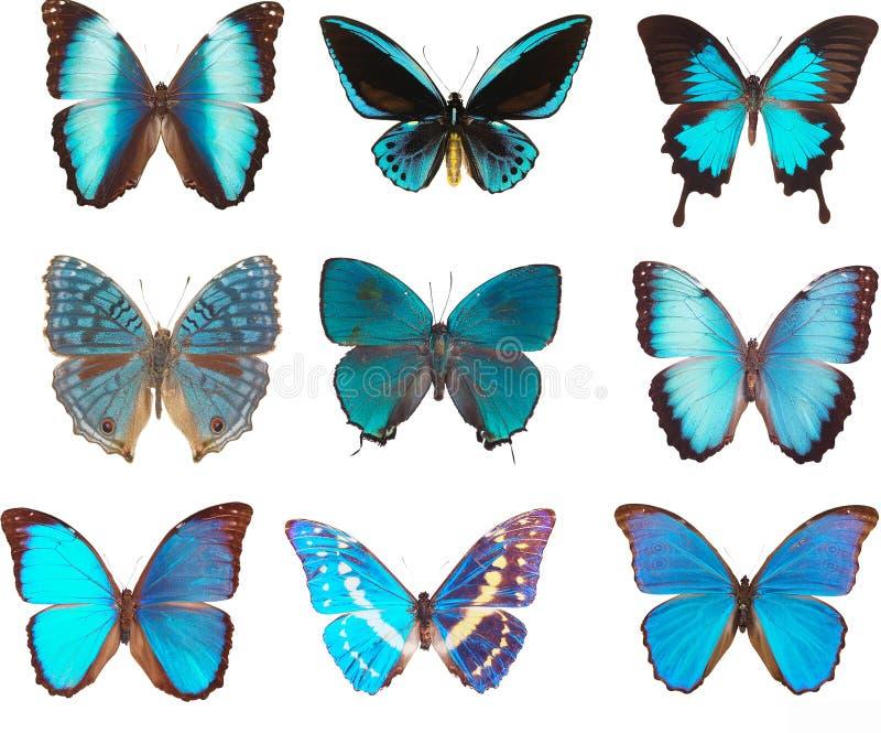 Papillons bleus image stock