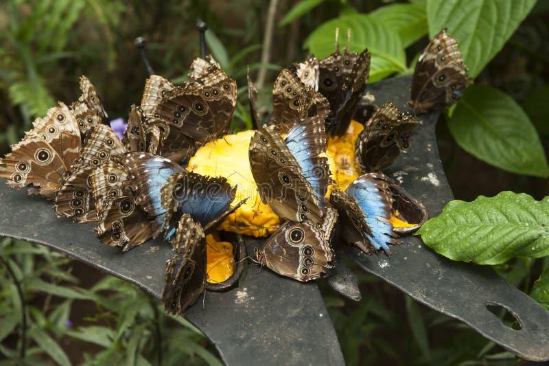 Papillons bleus de Morpho alimentant sur l'ananas photos stock