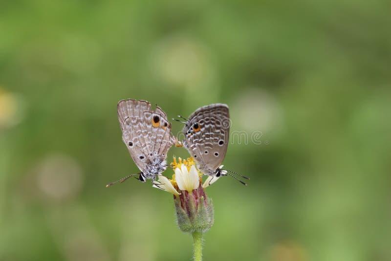 Papillons de accouplement sur les boutons de manteau avec le fond vert photographie stock