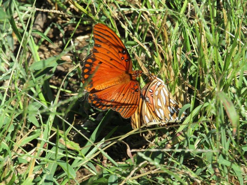 Papillons de combat images libres de droits