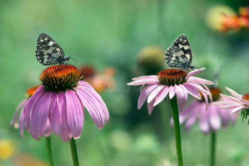 Papillons de Melanargy Galatea sur des fleurs d'echinacea dans le jardin photos stock