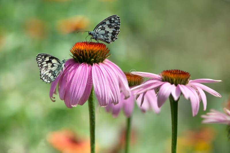 Papillons de Melanargy Galatea sur des fleurs d'echinacea dans le jardin images libres de droits