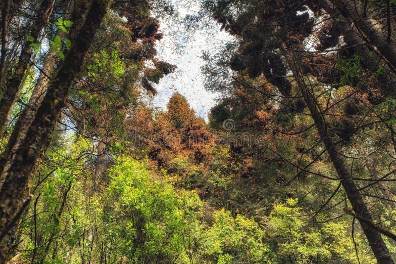 Papillons de monarque chez Michoacan, Mexique images stock
