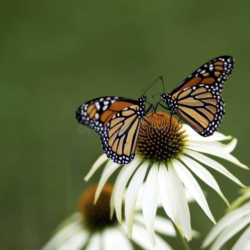 Papillons de monarque de paires - plexippus de Danaus image stock