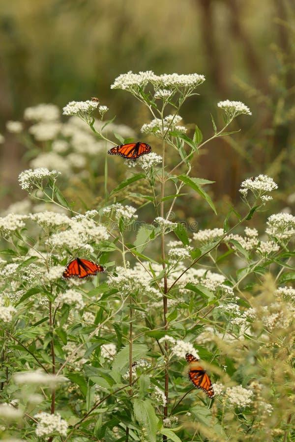 Papillons de monarque sur les fleurs sauvages blanches vers la fin de l'été photos stock