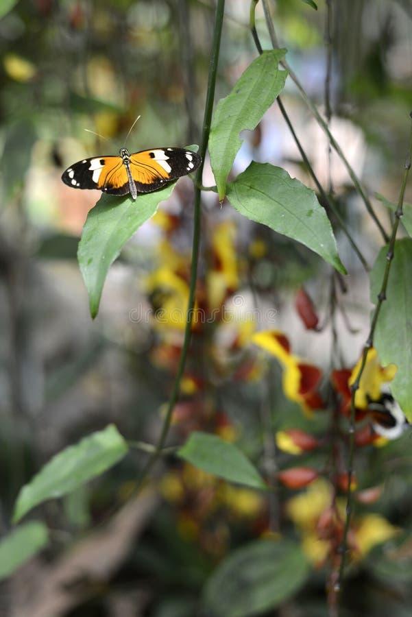 Papillons, Equateur photos libres de droits