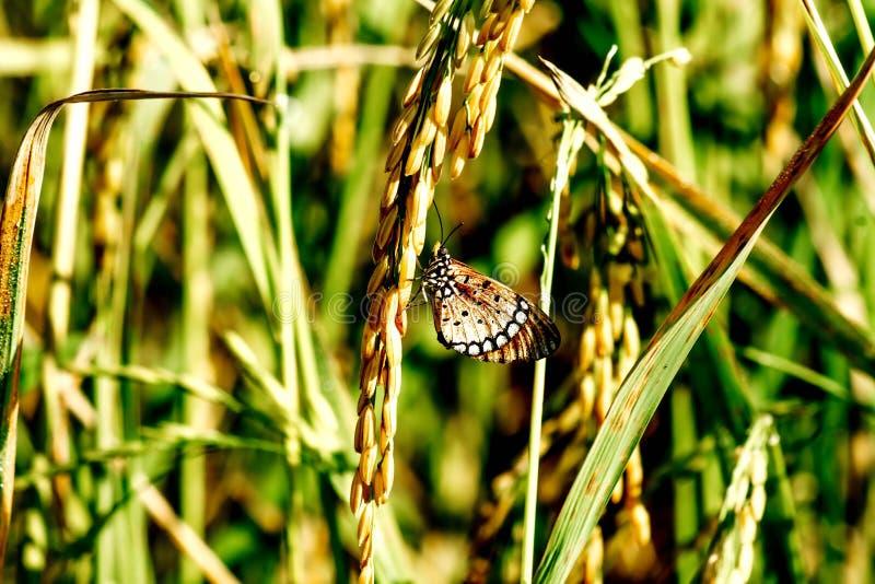 Papillons et riz images libres de droits