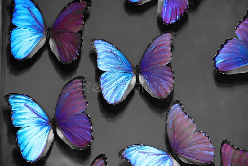 Papillons pourpres sur un fond gris images libres de droits