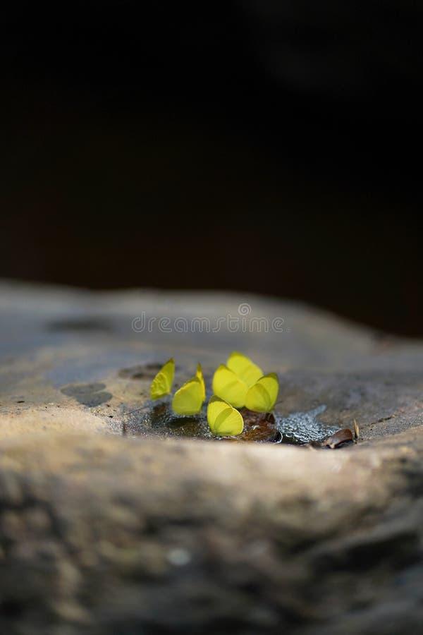 Papillons se tenant sur la pierre en parc national de Pang Sida, Sakaeo, Thaïlande images stock