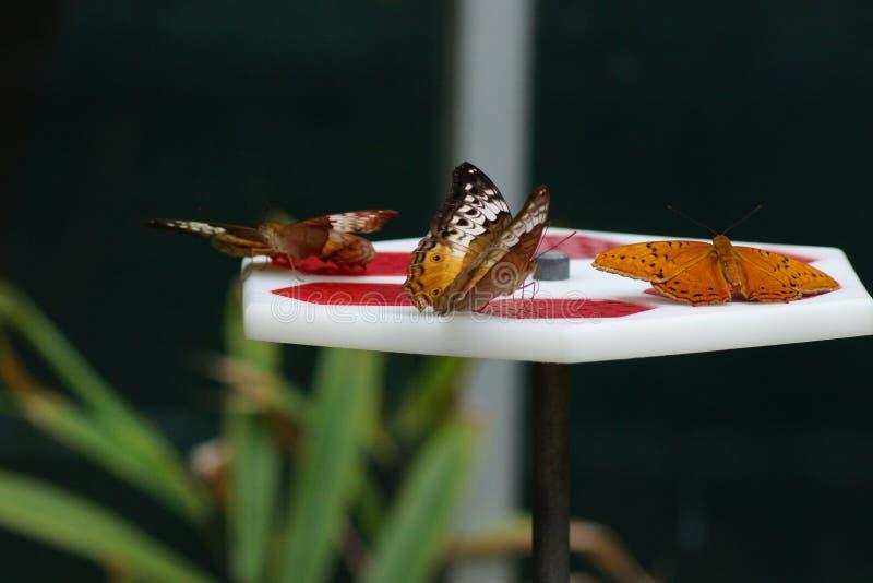 Papillons sur Nectar Tray photographie stock libre de droits