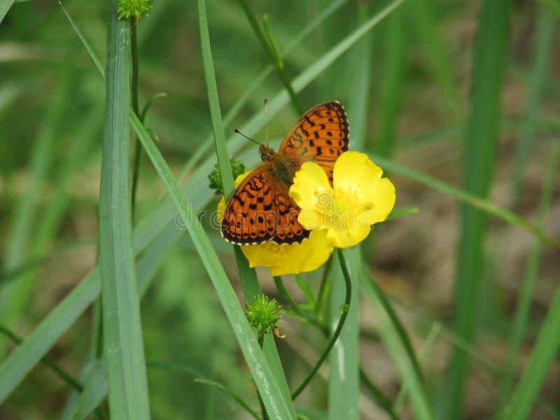 Papillons sur un pré images stock
