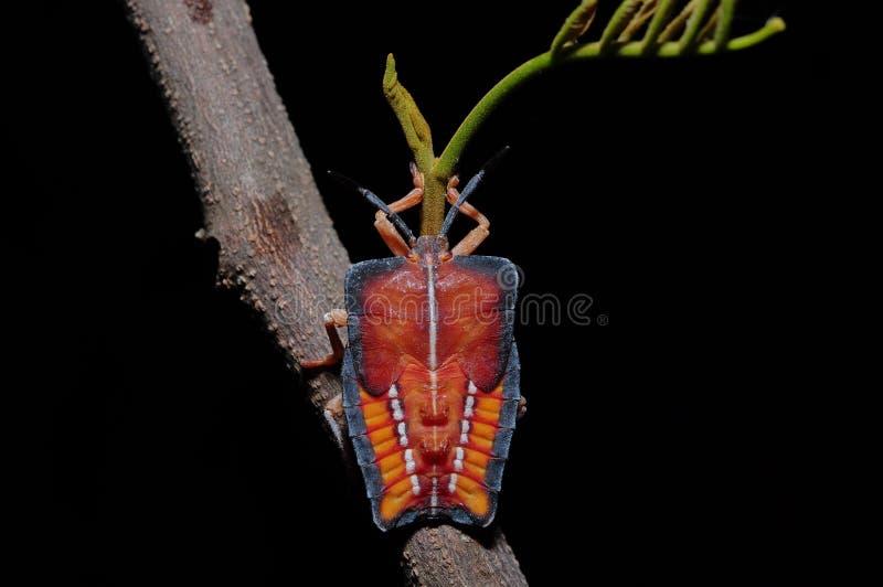 Papillosa Tessaratoma стоковое изображение rf
