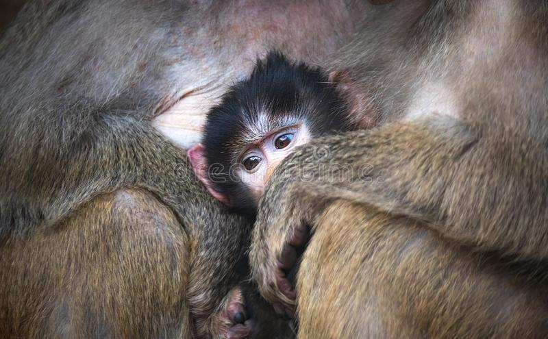 Papio hamadryas primate family male female kid baby sitting at the zoo royalty free stock photography
