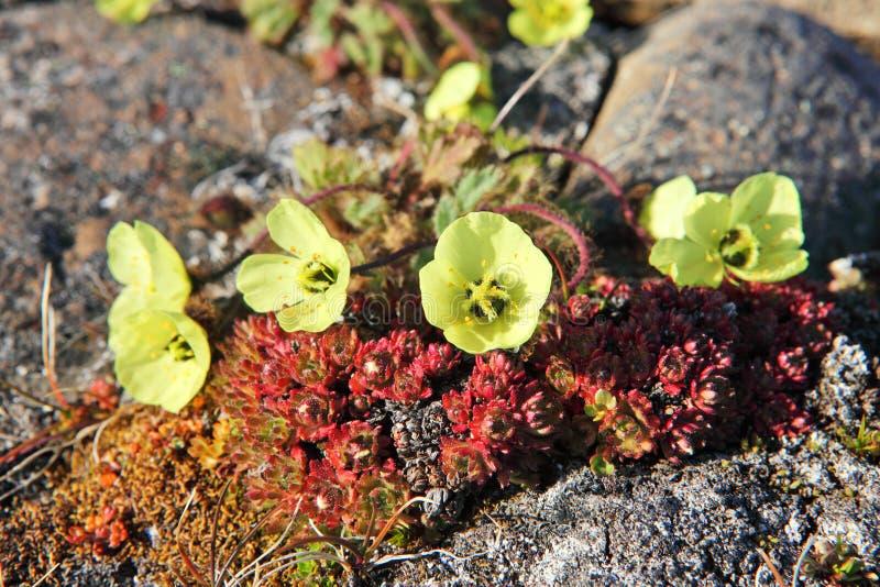 Papoila ártica (radicatum do Papaver) imagens de stock