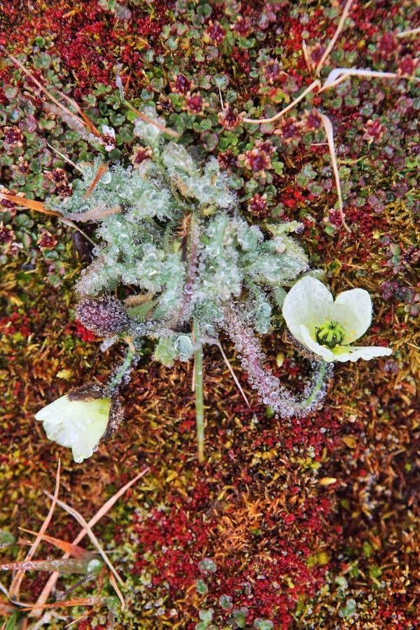 Papoila ártica (radicatum do Papaver) imagem de stock royalty free