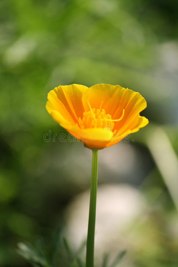 Papoila amarela fotos de stock royalty free