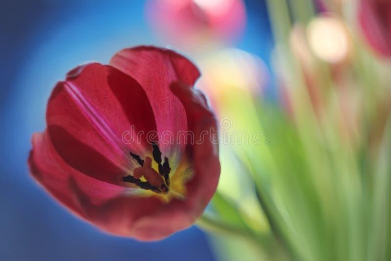 Papoila azul do fundo da tulipa vermelha bonita de Borgonha imagem de stock