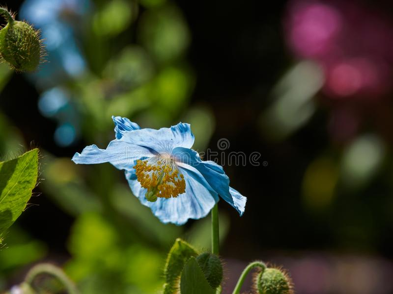 Papoila azul Himalaia de Tibet imagens de stock