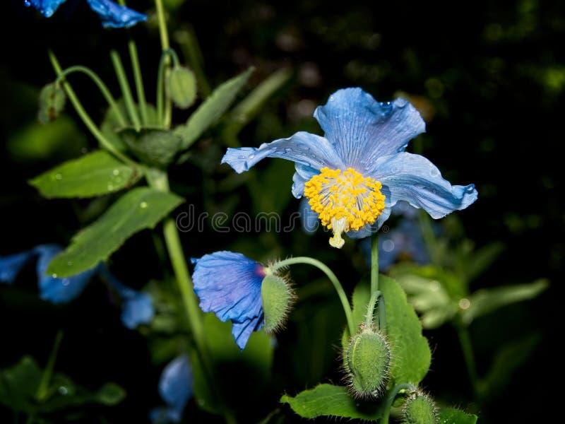 Papoila azul Himalaia de Tibet imagens de stock royalty free