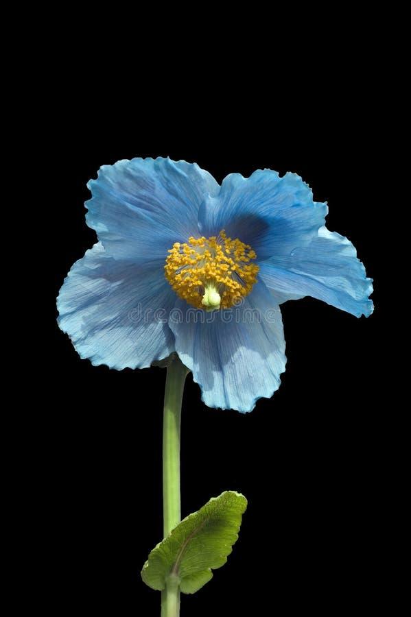 Papoila azul Himalayan imagem de stock