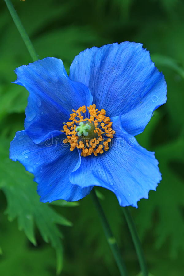 Papoila azul Himalayan fotografia de stock royalty free