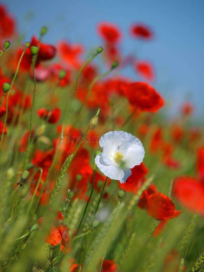 A papoila branca e vermelha floresce no meio de um campo de trigo imagens de stock royalty free