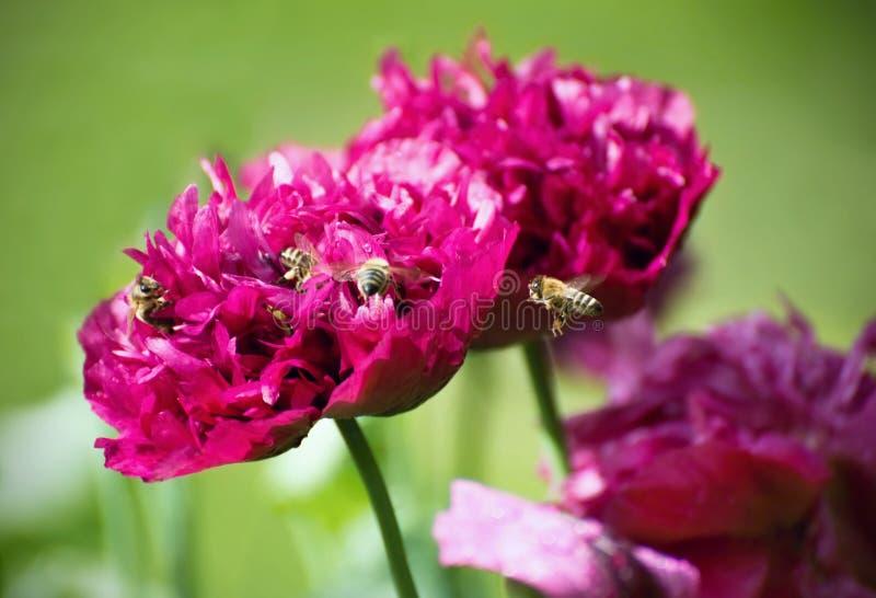 A papoila chamou Roxo Peônia com as abelhas que polinizam a flor foto de stock royalty free