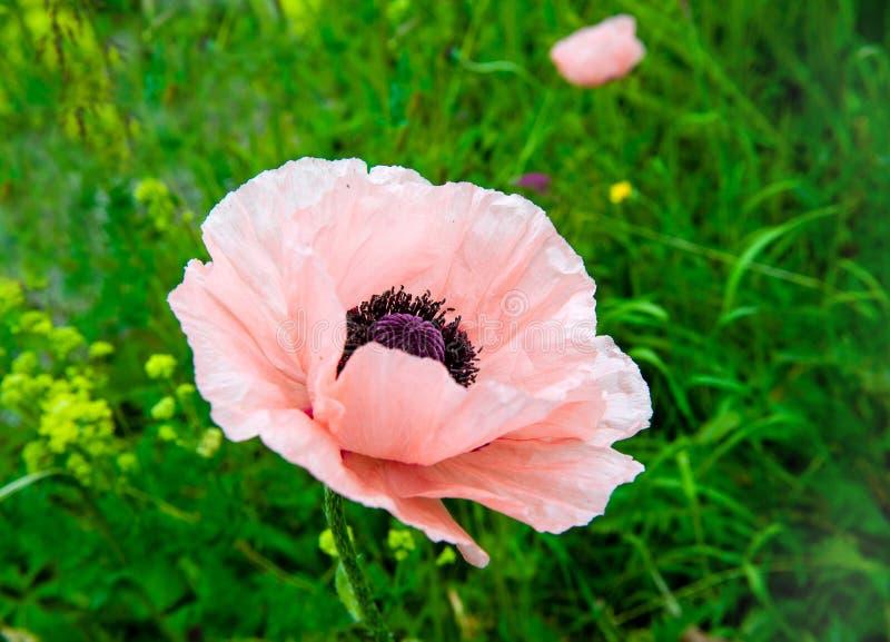 Papoila cor-de-rosa imagem de stock royalty free