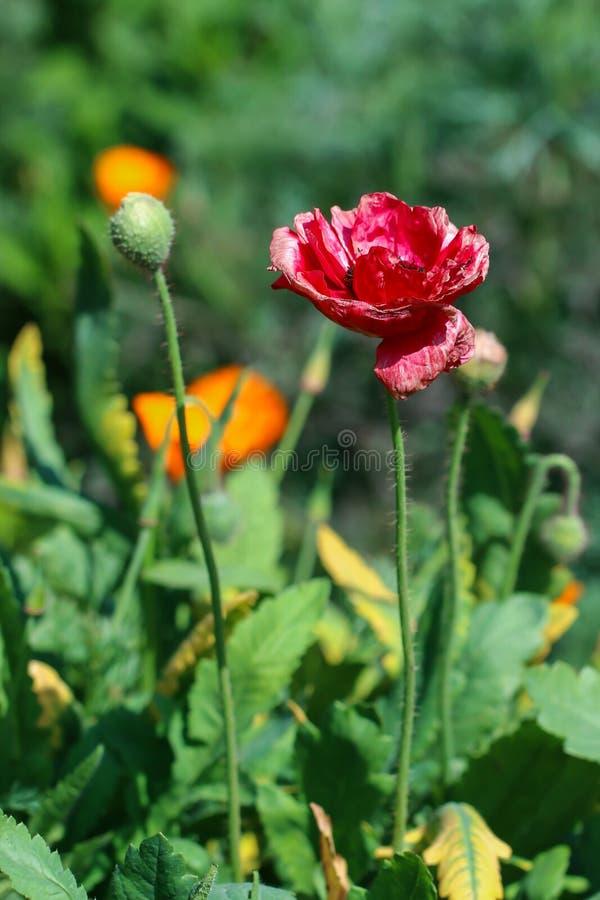 Papoila de ópio, Papaver - somniferum L , flores foto de stock royalty free