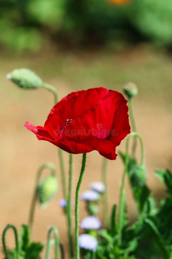 Papoila de ópio, Papaver - somniferum L , flores imagens de stock royalty free