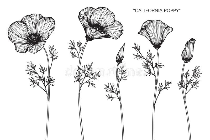 A papoila de Califórnia floresce o desenho e o esboço ilustração do vetor