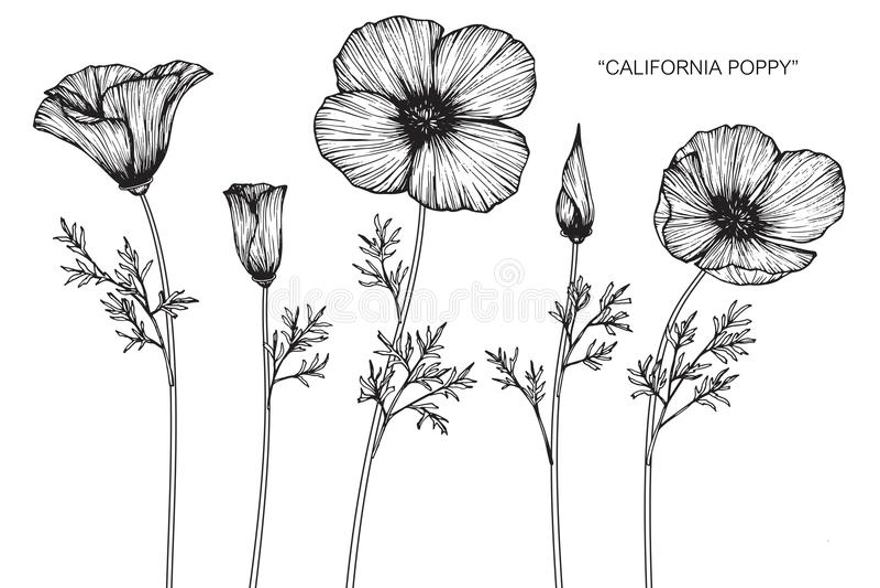 A papoila de Califórnia floresce o desenho e o esboço ilustração royalty free
