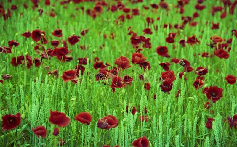 Papoila de florescência com folhas verdes, natureza natural de vida da flor fotos de stock